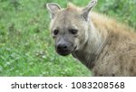 hyena facing camera with cocked ... | Shutterstock . vector #1083208568