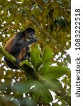 central american spider monkey  ... | Shutterstock . vector #1083222518
