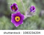 beautiful pasque flower  top... | Shutterstock . vector #1083236204