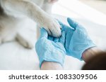 Stock photo cropped image of veterinarian in latex gloves examining dog paw 1083309506