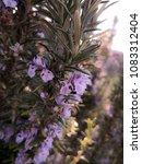 rosemary plant detail | Shutterstock . vector #1083312404