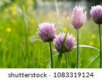 group of lila astra flowers....   Shutterstock . vector #1083319124
