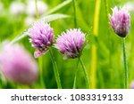 pink clover flower in summer... | Shutterstock . vector #1083319133