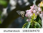 Small photo of Cute Kalmia Flowers and Butterflies