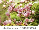 beautiful branches of magnolia... | Shutterstock . vector #1083379274