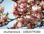 beautiful flowers of magnolia x ... | Shutterstock . vector #1083379280