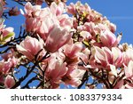 beautiful flowers of magnolia x ... | Shutterstock . vector #1083379334