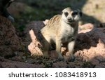 meerkat stepping out of shadow | Shutterstock . vector #1083418913