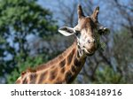 giraffe chewing on a twig.... | Shutterstock . vector #1083418916
