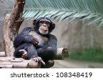 Stock photo chimpanzee relaxing on a branch 108348419