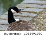 Canada Goose Isolated