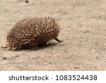 echidnas sometimes known as... | Shutterstock . vector #1083524438