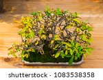 Small photo of MOSCOW, RUSSIA - NOVEMBER 10, 2017: Bonsai - Amur privet (Ligustrum obtusifolium). Age - about 30 years. Exhibition of Bonsai in Aptekarsky Ogorod (a branch of the Botanical Garden of MSU).