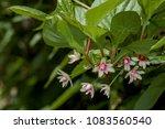 schisandra berries  schisandra... | Shutterstock . vector #1083560540