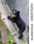 spectacled bear  andean bear ... | Shutterstock . vector #1083570293