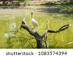 a pelican resting on a dry tree  | Shutterstock . vector #1083574394