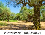 the old olive grove of the... | Shutterstock . vector #1083590894