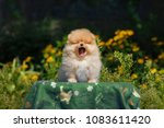 Stock photo a very cute puppy is sitting yawning amid beautiful yellow flowers funny little dog 1083611420