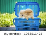 Stock photo lovely puppies in a basket outdoors pomeranian dogs 1083611426