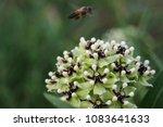Bee On Antelope Horn Milkweed