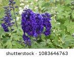 delphinium purple and white... | Shutterstock . vector #1083646763