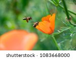 Honey Bees Collecting The...