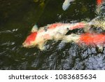 koi  fishs  are  awimming  in ... | Shutterstock . vector #1083685634
