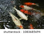 koch  fishs  swimming in  the ... | Shutterstock . vector #1083685694
