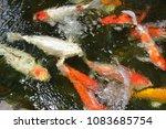 koi  fishs  are swimming  in ... | Shutterstock . vector #1083685754