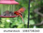 bright red male northern... | Shutterstock . vector #1083738260