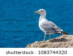 Small photo of Detail on a seagull standing on the rocks of the coast. Gull, Lari, laridae
