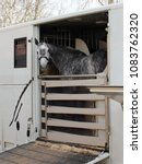 Small photo of Lovely dapple grey horse head sticking out of open door on a horse trailer. Horse has halter