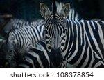 animal zebre portrait - stock photo