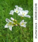 Small photo of Cuckooflower (wild plant)