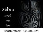animal zebra portrait black background - stock photo