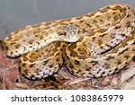 hungarian meadow viper  vipera... | Shutterstock . vector #1083865979