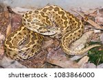 hungarian meadow viper  vipera... | Shutterstock . vector #1083866000