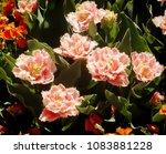 beautiful parrot tulips with... | Shutterstock . vector #1083881228