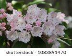 Small photo of Cute buds of Kalmia