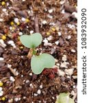 Small photo of Radish seedling in hyperdrive
