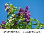 closeup of purple lilac branch... | Shutterstock . vector #1083950126