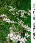 snow white branches of blooming ... | Shutterstock . vector #1083959648