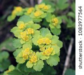 Small photo of Spleen, alternate, ordinary (Chrysosplenium alternifolium) - perennial plant