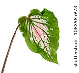 caladium bicolor with pink leaf ... | Shutterstock . vector #1083985973