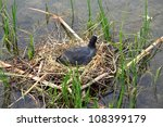 Coot Nests In Black