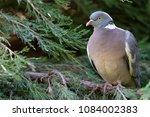 Ring Necked Wild Dove Sitting...