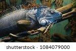 iguana in the aquarium. the... | Shutterstock . vector #1084079000