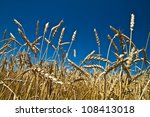 photo of ears of wheat in... | Shutterstock . vector #108413018
