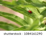 adult scarlet lily beetle ... | Shutterstock . vector #1084161290