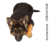 a beautiful puppy is the german ... | Shutterstock . vector #1084167638